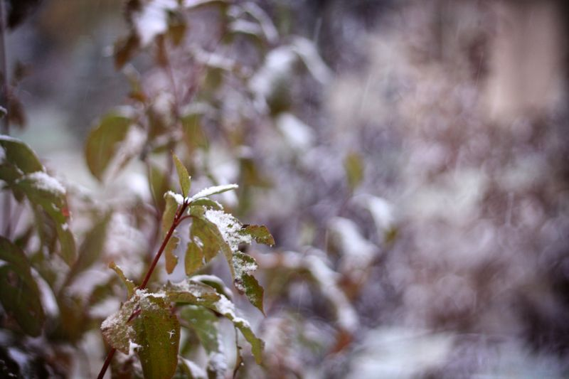 Snow-on-shrub